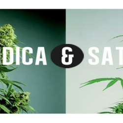 THE DIFFERENCE BETWEEN INDICA AND SATIVA CANNABIS STRAINS