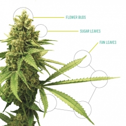 Cannabis Anatomy | Overgrow
