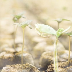 TOP TIPS FOR SUCCESSFUL CANNABIS GERMINATION