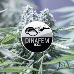 Top Dinafem Strains | Overgrow