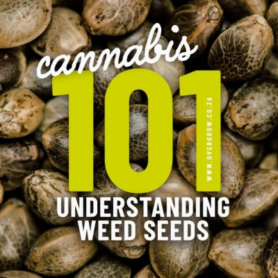 Cannabis 101: Weed Seeds in a Nutshell